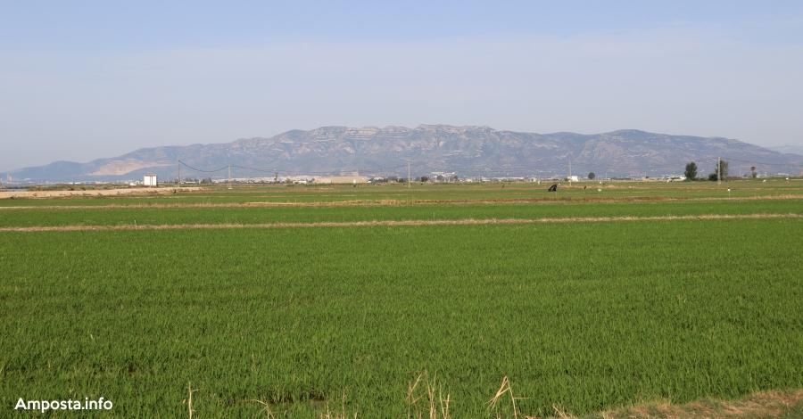 L'augment de les importacions d'arròs de Mercosur i el nou acord lliure d'aranzels posa en alerta als arrossaires catalans