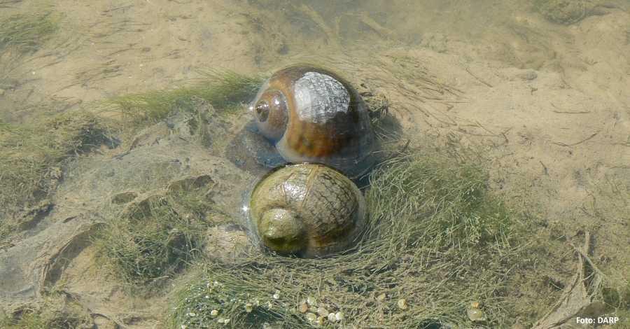 Ebre | Detectat un nou focus de caragol maçana al riu Ebre al terme municipal de Miravet