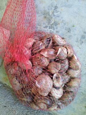 Caragols a la cassola | Amposta.info
