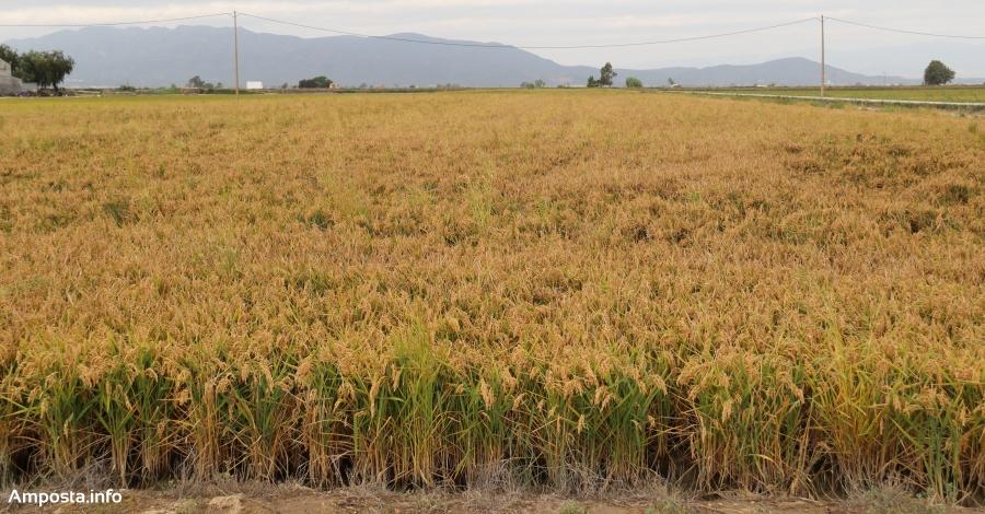 La campanya de l'arròs d'enguany ha estat bona en quantitat i excel·lent en qualitat